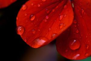 geranium - image by Deb Fletcher