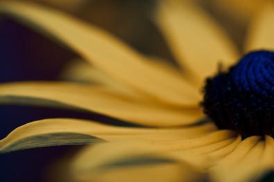 rudbekia - image by Deb Fletcher